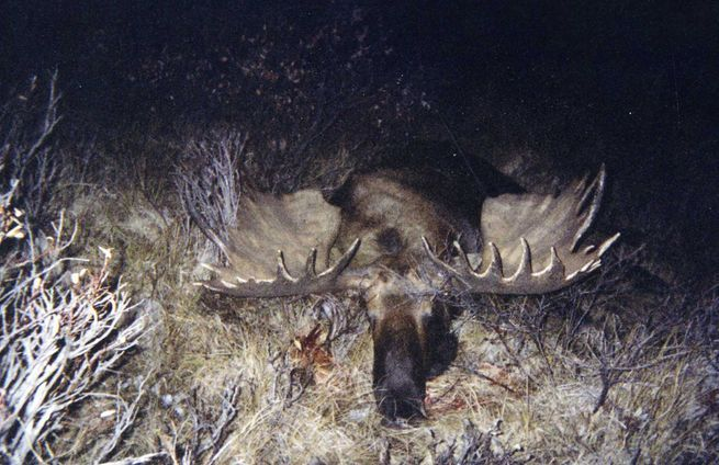The History Of BC Moose Hunts photo