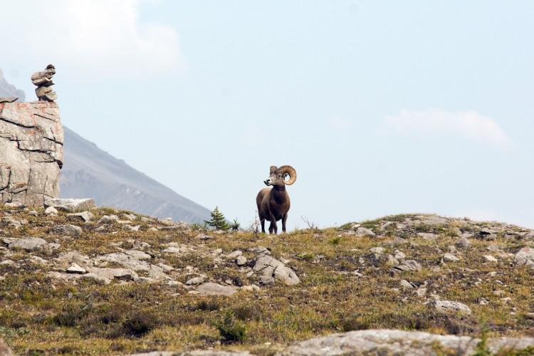 British Columbia Bighorn Sheep Hunts photo