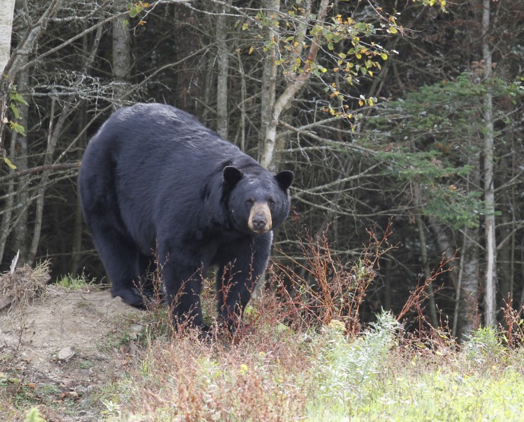 British Columbia Black Bear Hunts photo