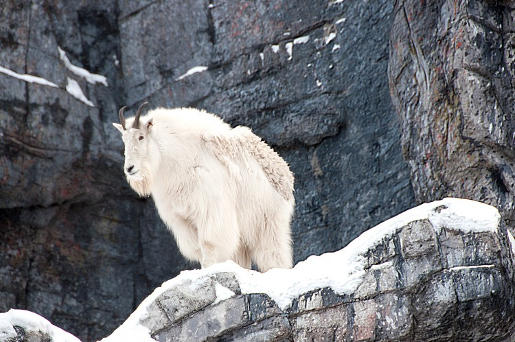 British Columbia Mountain Goat Hunts photo