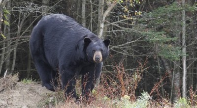 British Columbia Black Bear Hunts photo