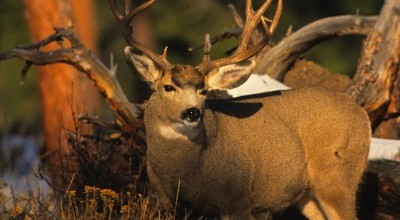 British Columbia Deer Hunts photo